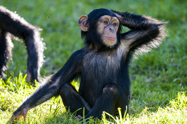 A curious infant Chimpanzee scratching the back of its head.