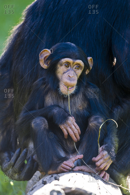 An infant Chimpanzee chewing on a twig with its mother.