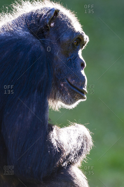 The hairy head of an elderly Chimpanzee backlit by the early morning sun.