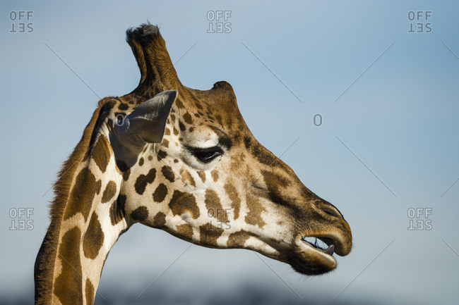 The large head of a Giraffe chewing its cud.