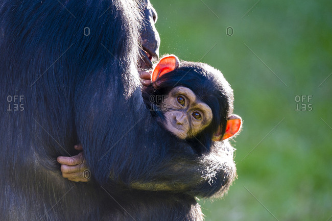 A mother Chimpanzee cradling an infant in her arms.
