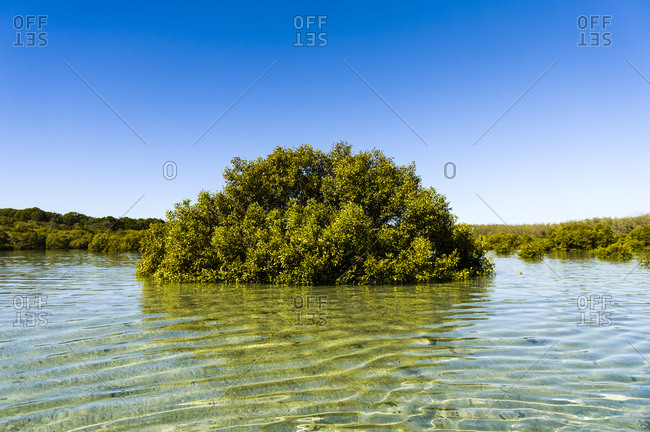 A Grey Mangrove tree growing in the shallows of a lagoon.