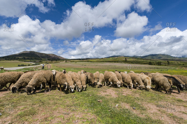 A flock of sheep grazing on a plateau in Andes Mountains.