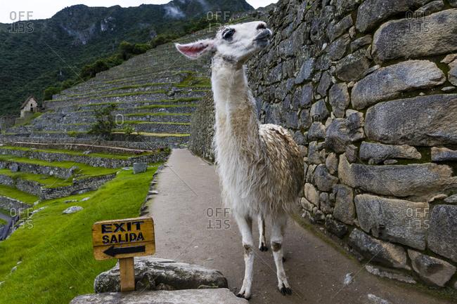 A Lama explores the ancient Inca ruins of Macchu Picchu beside an exit sign.