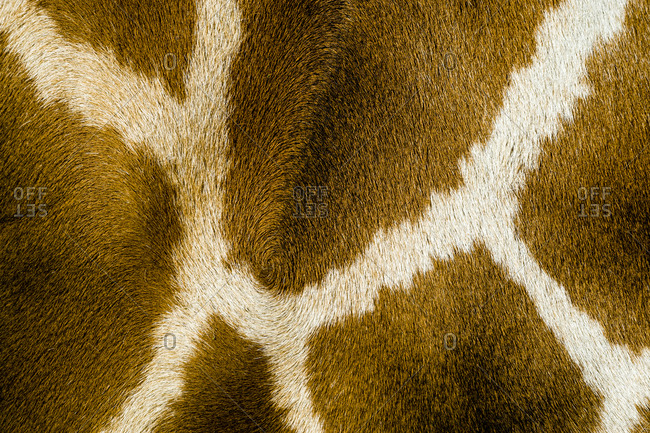 The reticulated mosaic fur pattern on the skin of a Giraffe flank.