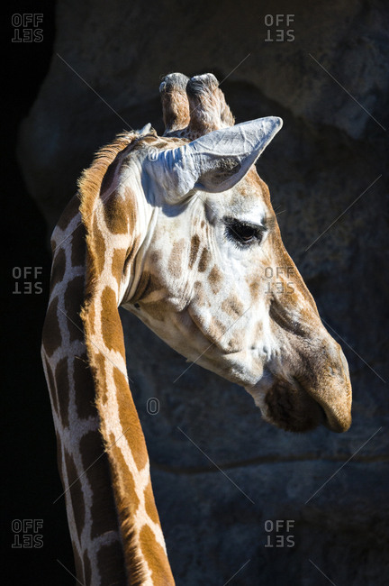 A Giraffe turning its head on its long neck to listen with its ears alert.