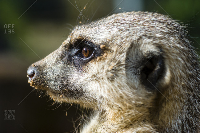 The eye of a Meerkat focussed on something in the distance.