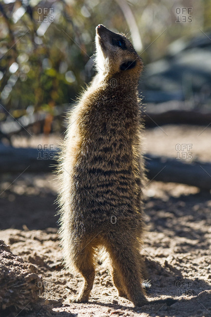 A Meerkat on patrol searches the sky for birds of prey and predators.