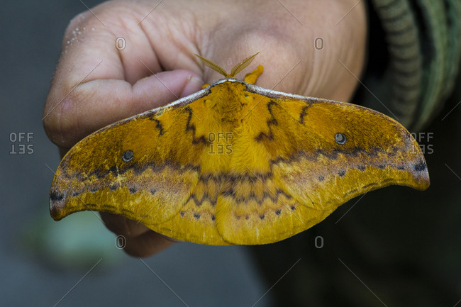 A large orange Emperor Moth janetta resting on a hand.