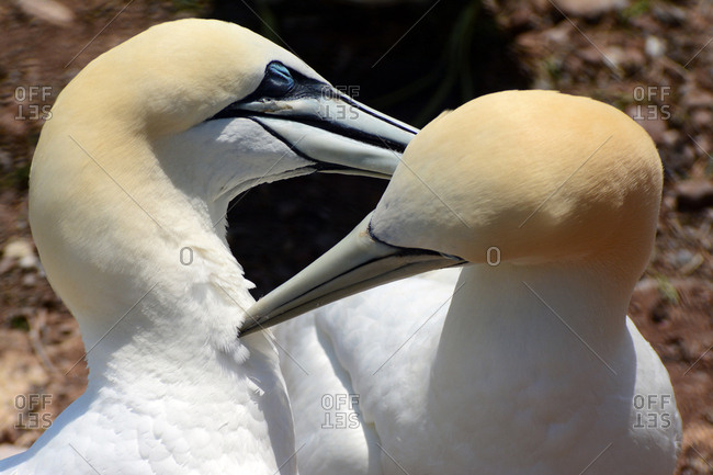 A mated pair of northern gannets preen each other on their nest.