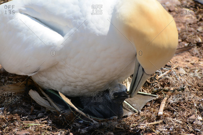 A northern gannet, morus bassanus, sits over a chick.