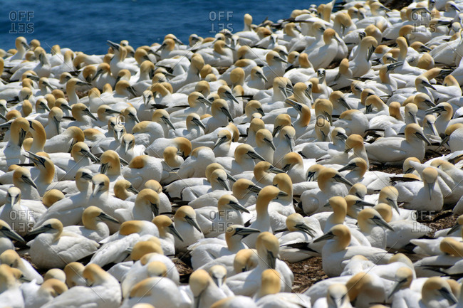 One of the world's largest breeding colonies of northern gannets on Bonaventure Island.