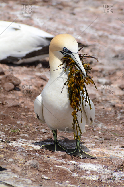 A northern gannet returning to its nest with nesting material in its beak.
