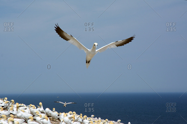 A northern gannet takes flight over a colony of nesting gannets on cliff edge.