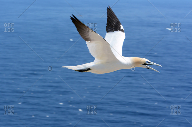 A northern gannet, Morus bassanus, in flight over the Gulf of Saint Lawrence.