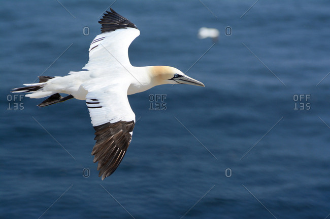A young northern gannet, Morus bassanus, in flight over the Gulf of Saint Lawrence.