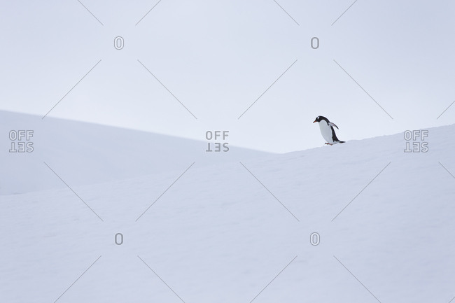 Gentoo penguin during snow and whiteout conditions in Antarctica.