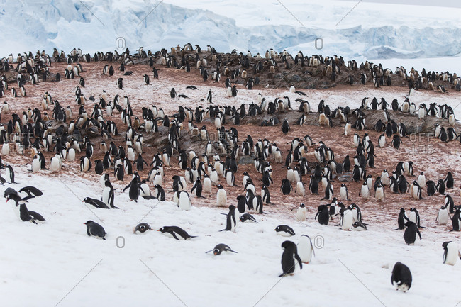 Colony of penguins on Couverville Island.