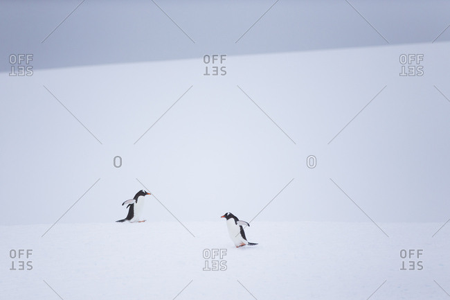 Gentoo penguins during snow and whiteout conditions in Antarctica.