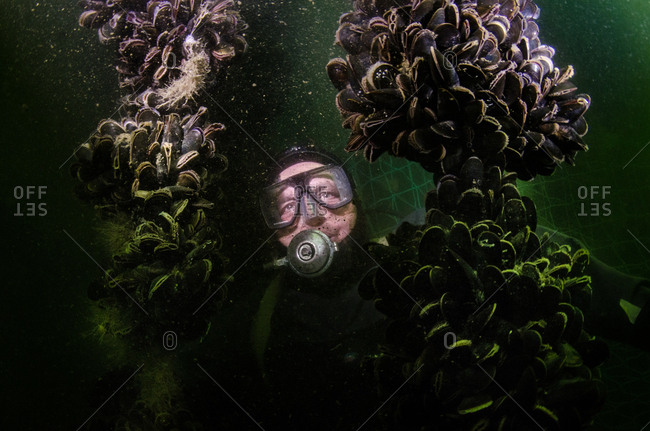 A mussel farmer inspects his nets full of mussels underwater.