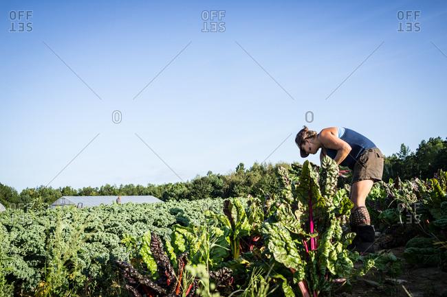 A farmer picks swiss chard from her crop.