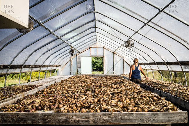 A farmer examines her harvest of shallots spread out to dry in a hot house.