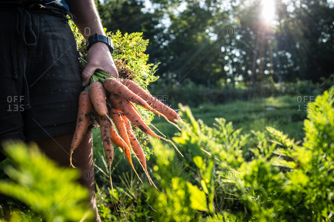 A farmer holds a handful of carrots she has just pulled from her crop.