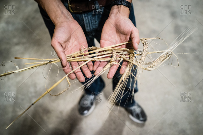 A maltster holds barley still on the stalk.