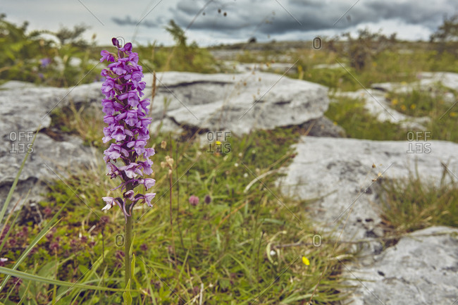 A Common fragrant orchid, Gymnadenia conopsea, growing in limestone pavement.