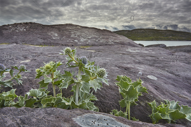Sea Holly growing on the Strand at Derrynane House.