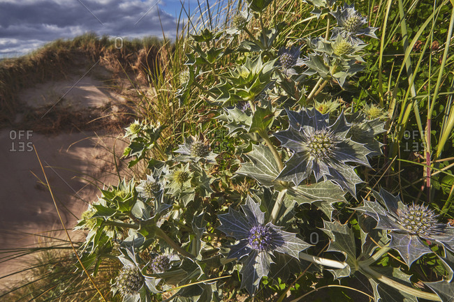 Sea Holly, Eryngium maritimum, growing in sand dunes on Rossbeigh beach.