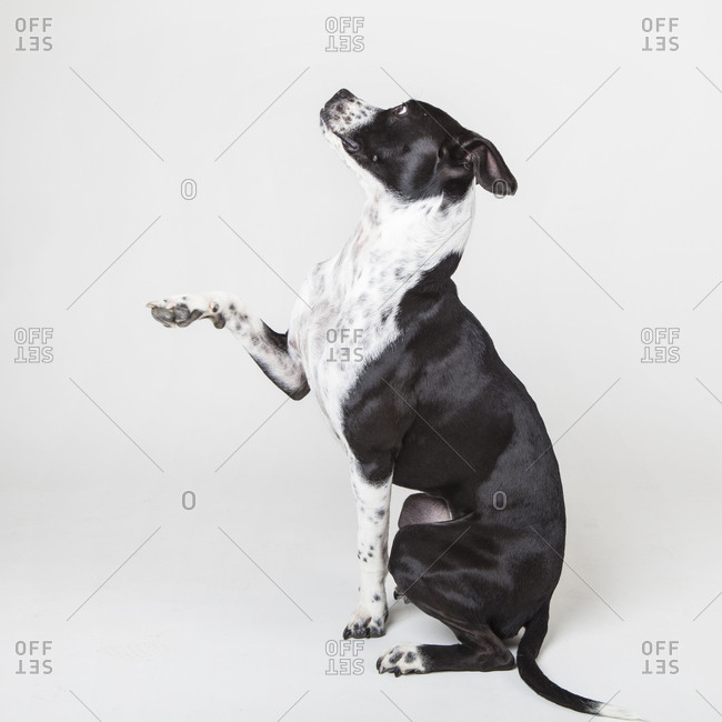 A young mixed breed dog poses on a white studio background.