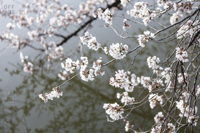 Cherry blossoms in bloom along the Tidal Basin in Washington, District of Columbia.