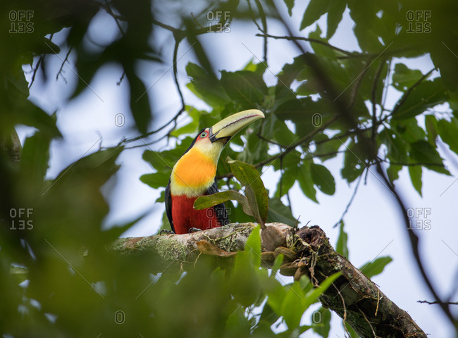 A green-billed toucan, Ramphastos dicolorus, or red-breasted toucan perches in a tree.