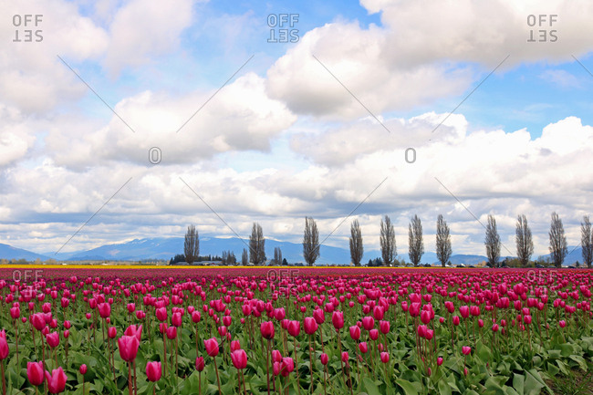 The Cascade Volcanic Mountain Range looms behind a field of tulips in Washington's Skagit Valley.