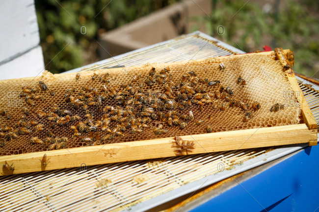 Bees on a beehive drawer