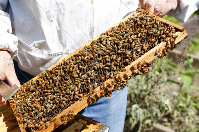 Honeycomb drawer in beekeeper's hands