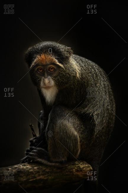 De Brazza's monkey sitting on branch
