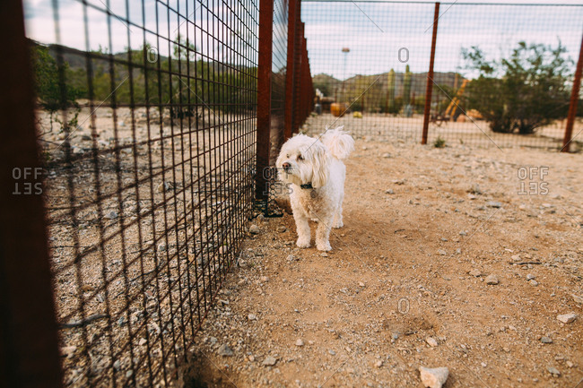 White dog looking through fence