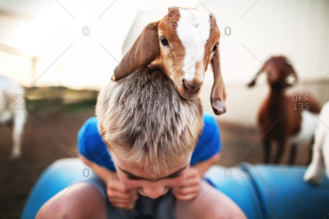 Baby goat climbing on a boys back