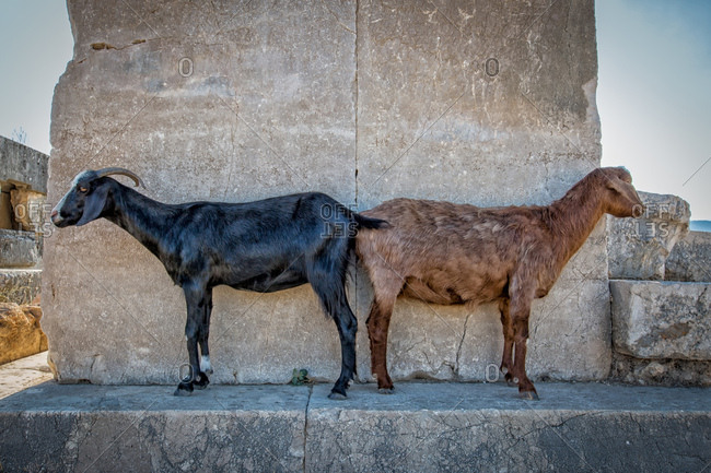 Two goats standing at ancient ruin in Xanthos, Turkey