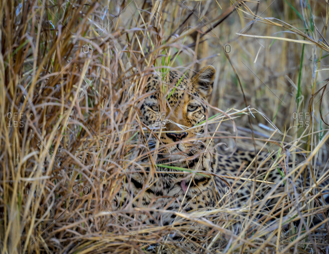 Leopard camouflaged in tall grass