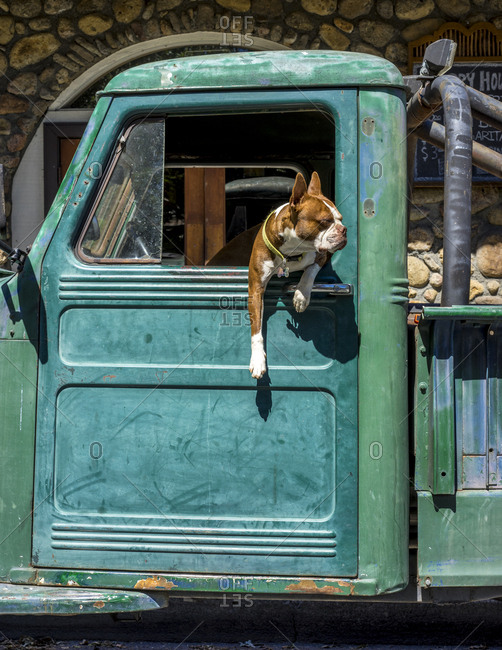Boxer dog hanging out window of truck