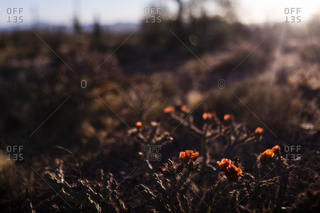 A cholla cactus flower in bloom
