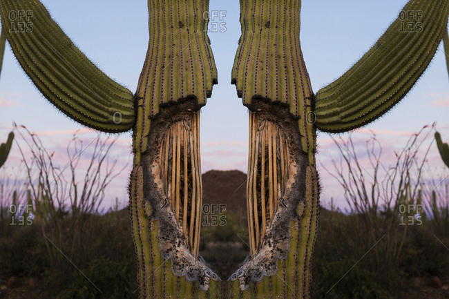 A cactus plant in symmetry