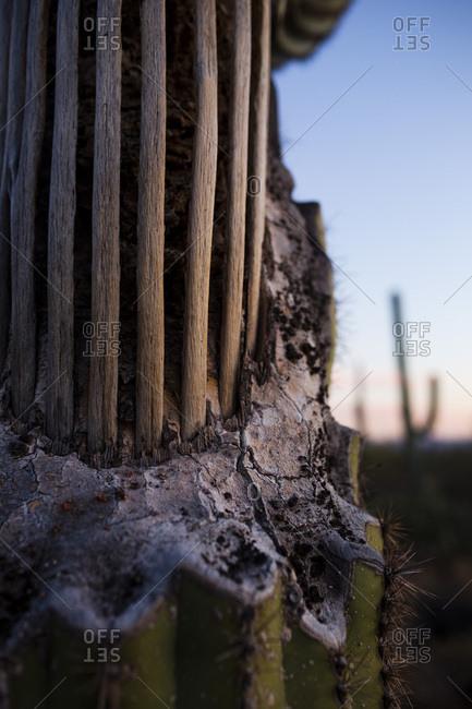 Saguaro cactus with exposed bones