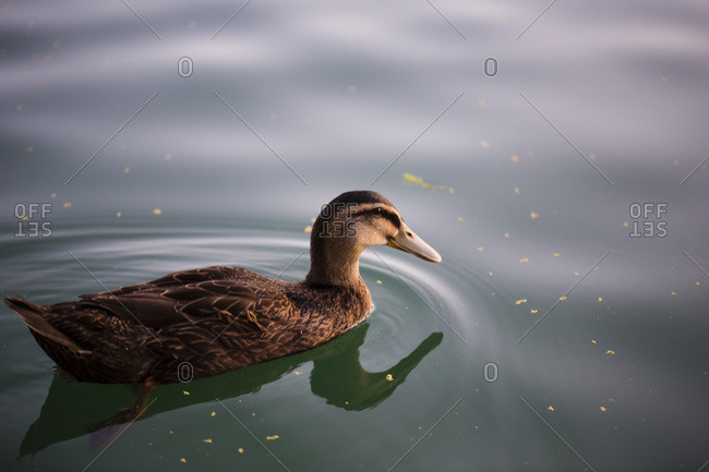 Duck swimming alone on water