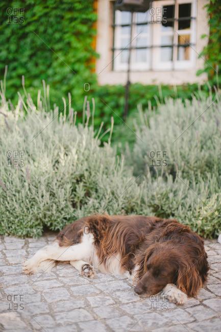 Dog sleeping in courtyard - Portugal