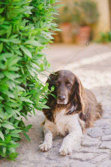 A dog lying in courtyard - Portugal
