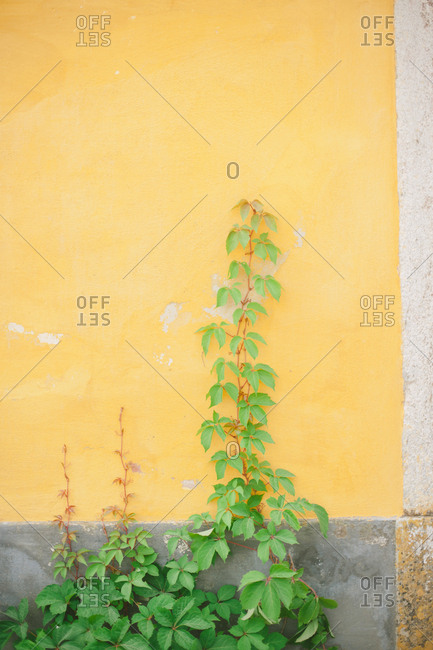 Vine growing up a house wall